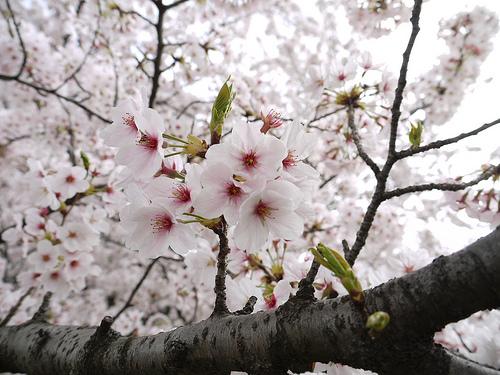 2011年4月11日 桜