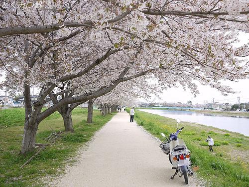 2012年4月13日 桜