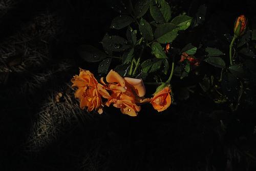 薔薇 SIGMA DP2 Merrill RAW現像